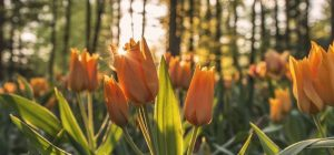 Tulips for Website